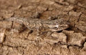 gecko hiding on bark
